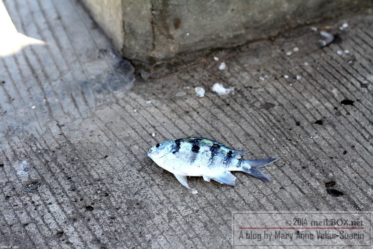 The fish that needed urgent help. [Photo by Mary Anne Velas-Suarin]