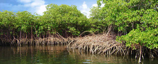 Mangrove trees need to be protected and planted. They offer multiple uses and benefits. (Photo courtesy of Science Nutshell/M. Berry/S. Karstens/M. Lukas)